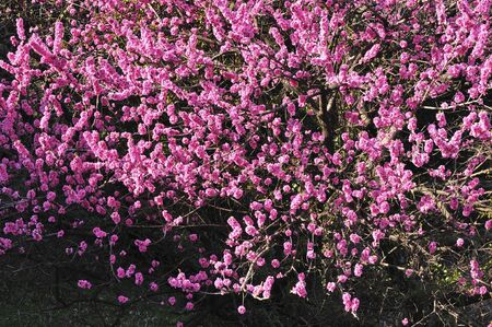 chubu: Peach Blossom