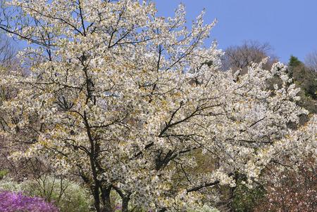 prunus: Prunus jamasakura