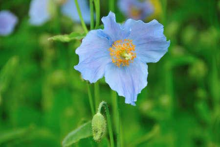himalayan: Himalayan Blue poppy