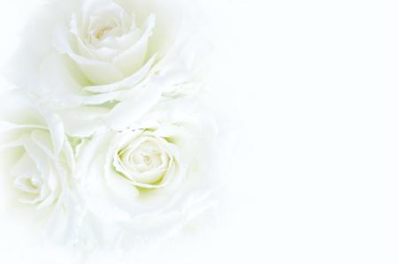 White Rose Miwa