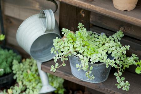 tin: Tin watering can and Sedum