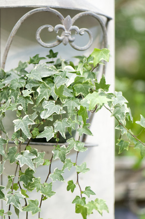adorning: Potted Ivy