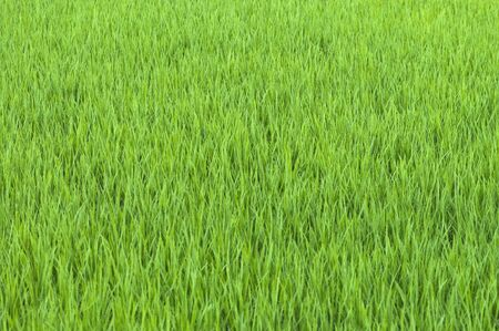 early summer: Early summer rice field