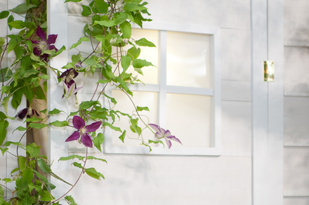 skylights: Clematis that bloom in front of the entrance Stock Photo