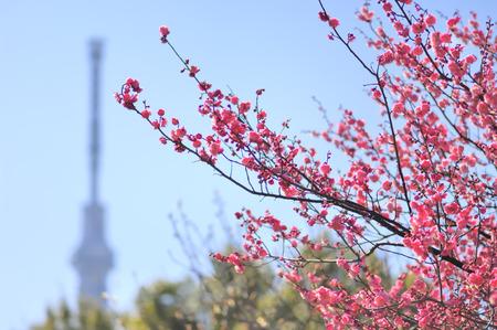 Flowers of the sky and plum Reklamní fotografie