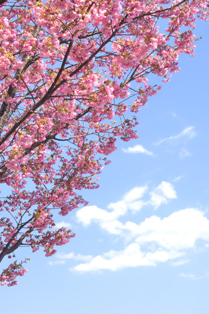 pessimism: Sakura and the blue sky and white clouds
