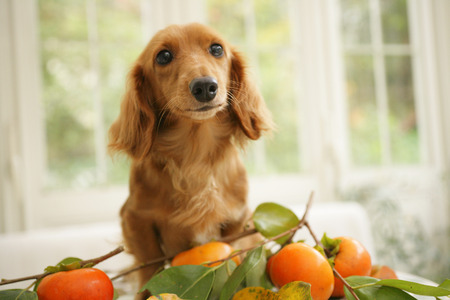Miniature Dachshund and persimmon