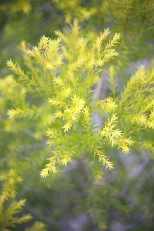 conifer: Conifer