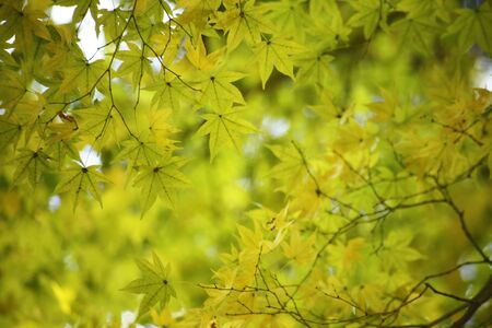 autumn color: Maple yellow leaves