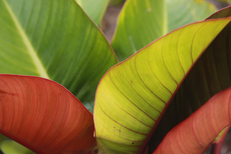 imperial: Philodendron Imperial Red Stock Photo