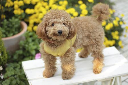 Toy Poodle y caléndula