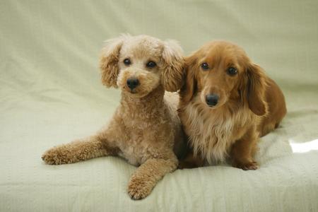 Toy Poodle y Patos en el sofá