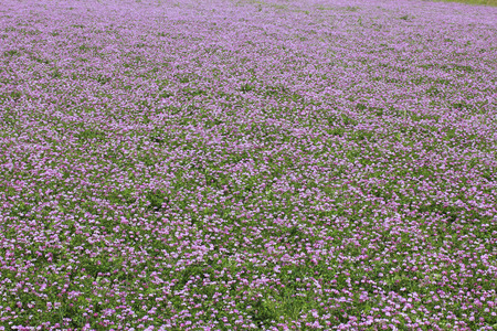 full bloom: Astragalus field in full bloom