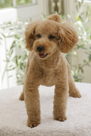 conservatory: Poodle of the Conservatory