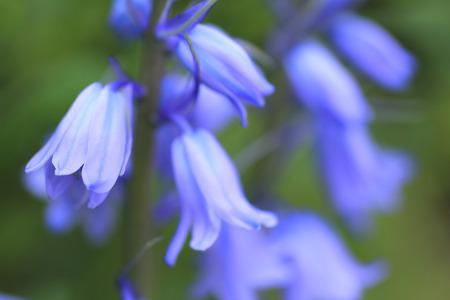 campanula: Blue Syrah Campanula data