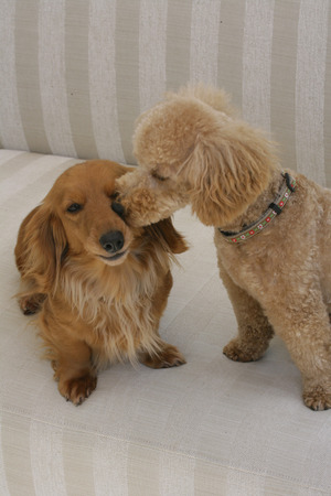 miniature poodle: Toy poodle and miniature Dachshund