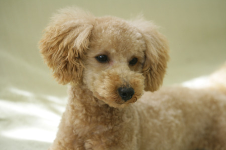 rawness: Toy poodle on the sofa
