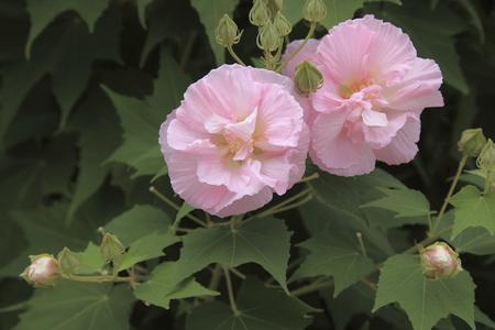 rosemallow: Rose-Mallow Stock Photo