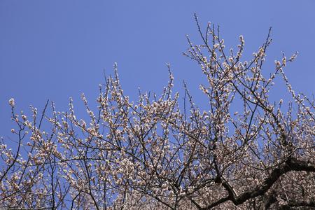 plum: Ciruela