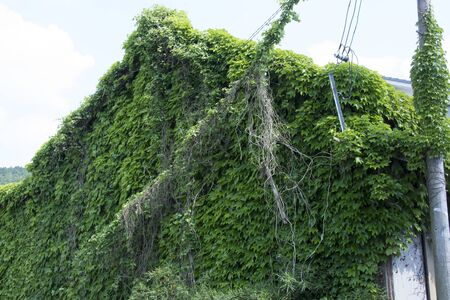 entangled: Ivy entangled in private house