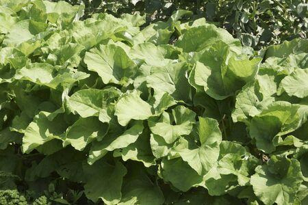 butterbur: Cultivation of butterbur Stock Photo