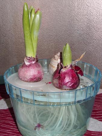 La hidroponía de tulipán Foto de archivo - 46678692