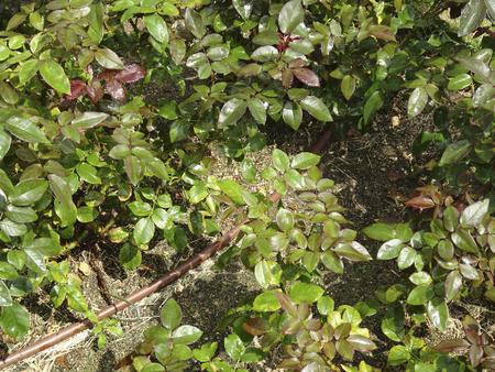 desinfectante: Rosas de spray desinfectante