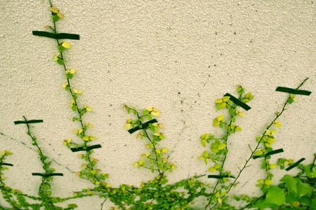 アイビーの規律、壁にクロール 写真素材
