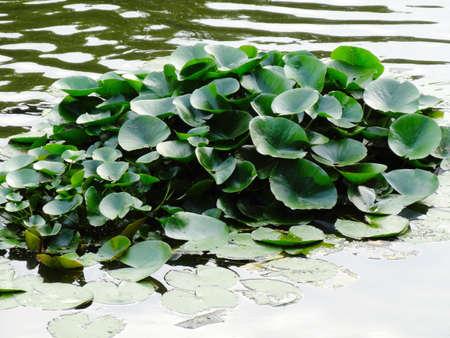 waterweed: Waterweed of pond