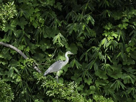 living thing: Grey heron Stock Photo