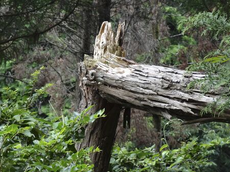 relent: Cedar tree broken by typhoon