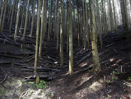 thinning: Cedar forest that was thinning Stock Photo