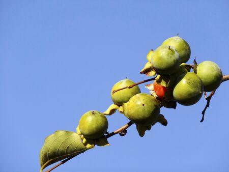 小さなサイズの野生の柿