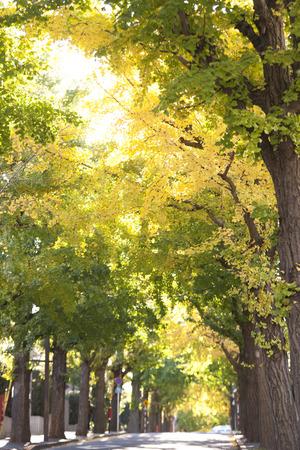 treelined: Ginkgo tree-lined Denenchofu