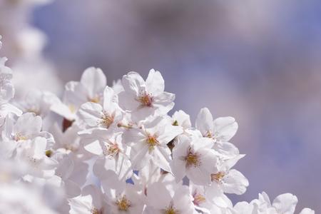 皇居の桜並木 写真素材