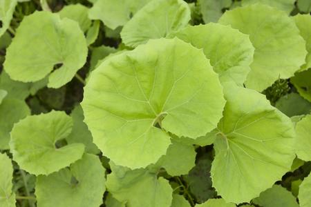 butterbur: Leaf of butterbur