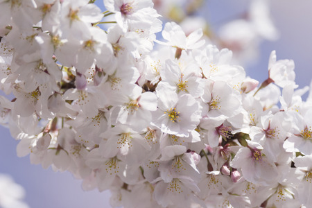 吉野の桜の木の花