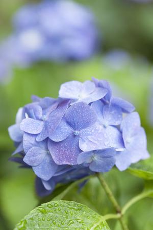 アジサイの花を雨します。 写真素材