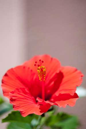 ハイビスカスの花 写真素材