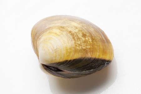 almeja: Almeja