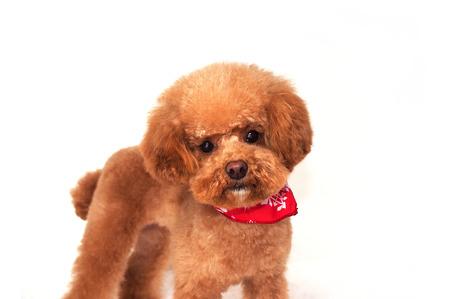 sciarpe: Sciarpe Poodle Archivio Fotografico