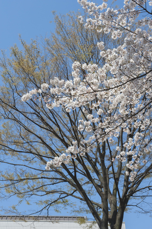full      bloom: Sakura of zelkova and full bloom that balloon shoots