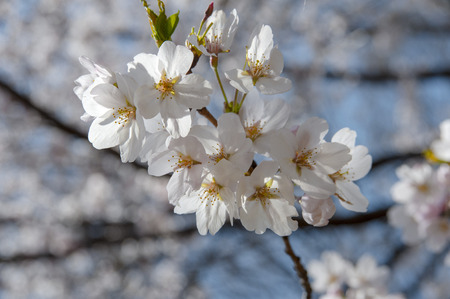 full bloom: Hana-up of full bloom of cherry Stock Photo