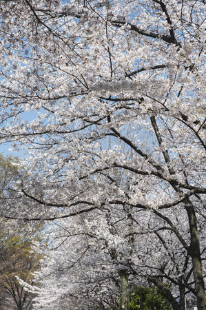 full      bloom: Of full bloom to extend insert the branch cherry trees