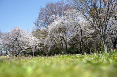 boast: Trees of the original full bloom cherry blue sky in lawn park