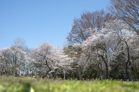 turf flowers: Trees of the original full bloom cherry blue sky in lawn park