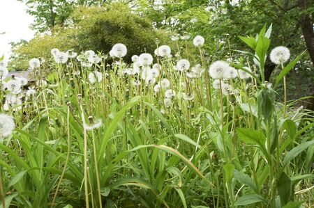 to inflate: Dandelion is inflate the fluff on the stone wall of the castle