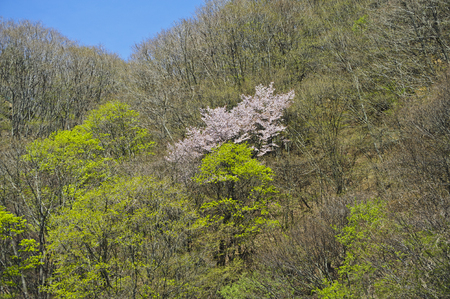 cherry hardwood: Cherry hardwood and the full bloom of the pass began to bud Stock Photo