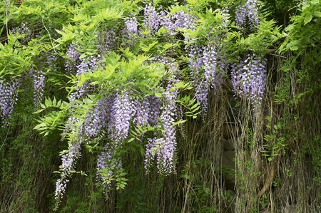 yearning: Wisteria flowers blooming in pristine in Ishigaki