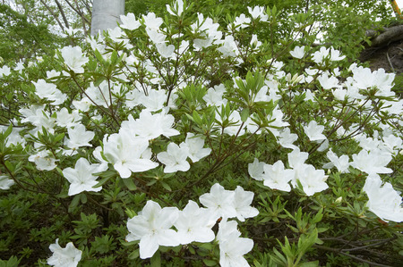 yearning: White azalea blooms in neat yearning for the old days Garden entrance